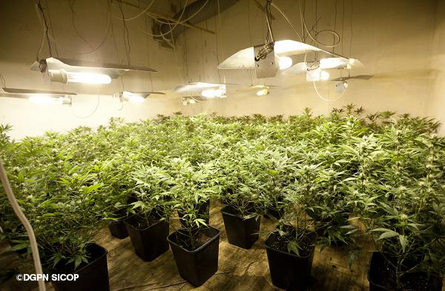 400 000 euros en plants de cannabis l 39 actu police actualit s police nationale minist re. Black Bedroom Furniture Sets. Home Design Ideas